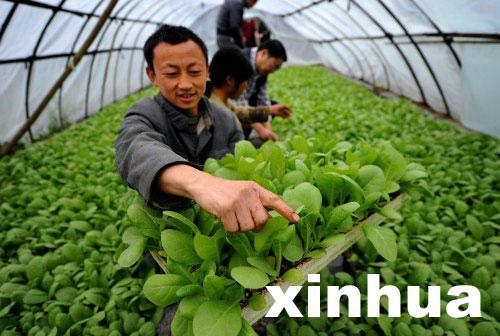 5月3日,宣恩县杉木岭村8组烟农宋代银夫妇在苗圃里为烟苗剪叶.图片